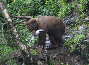Alaskabear4