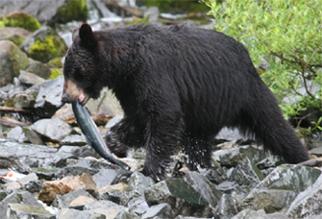 Alaskablkbear